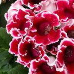 Самые неприхотливые комнатные растения, которые цветут