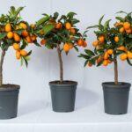 Как вырастить мандариновое дерево в домашних условиях?