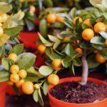 4 причины выращивать цитрусовые деревья дома