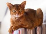 10 самых популярных пород домашних кошек для любви в доме