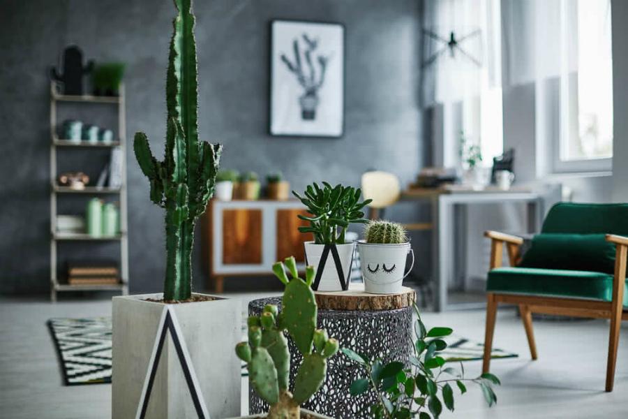кактус в квартире