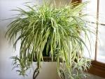 Не цветами, так листьями: пестролистные комнатные растения