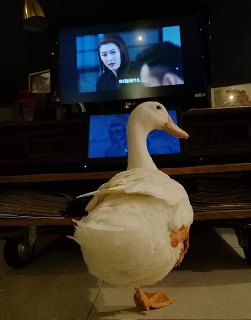 Про домашних уток: утка смотрит телевизор