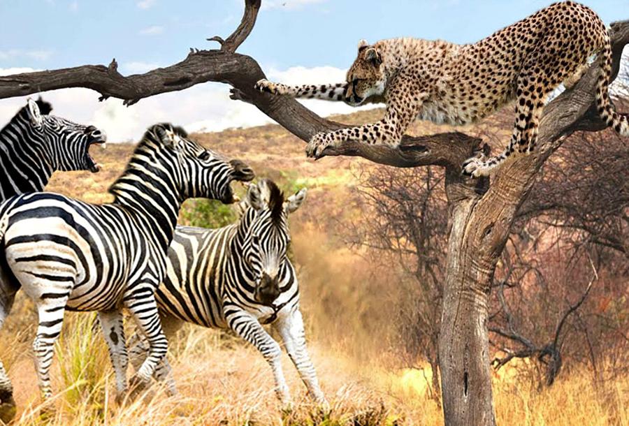 картинки львов пантеры и зебра это удобный для