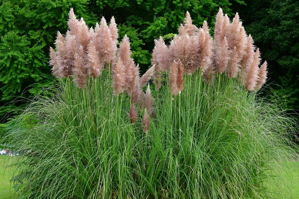 Фото цветника с пампасной травой