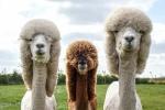 Счастливые альпаки в роскошных интерьерах