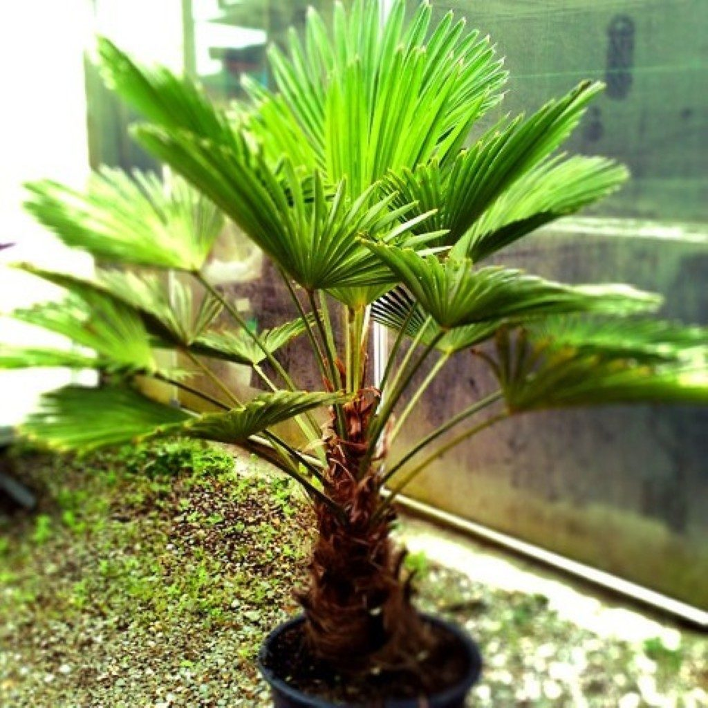 разновидность пальмы картинки