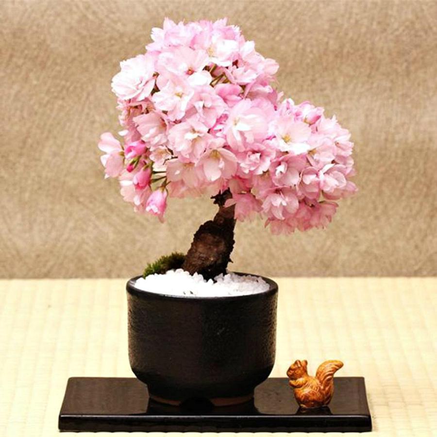 декоративная сакура