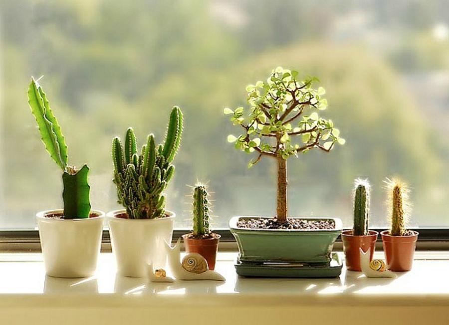 кактусы на подоконнике