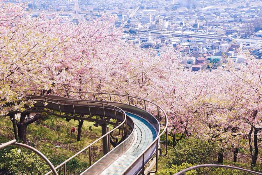 сакура в Японии