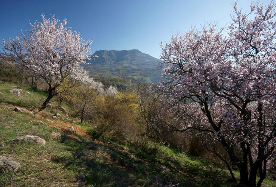 цветущий миндаль в Алуште